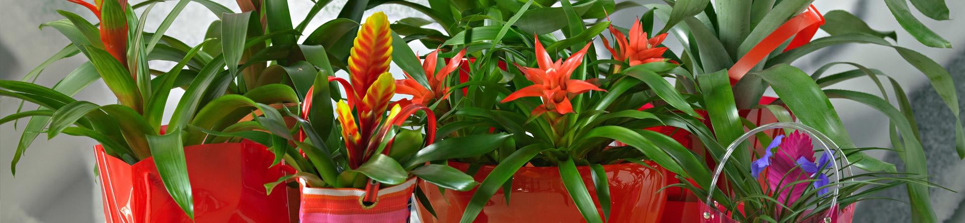 Il existe plusieurs sortes de Bromélias. Toutes excellent en forme et couleur.