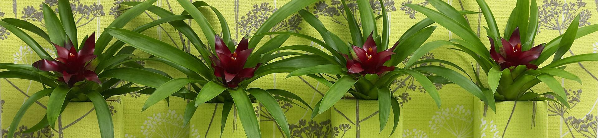 Haar tropische roots maken van de Bromelia een typische survivor.