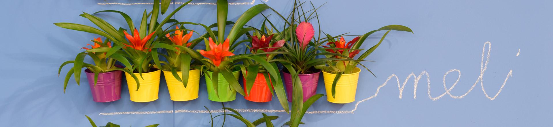 Sfavillante, allegra e possente: la Bromelia è la pianta che incarna il carattere latino e brillante tra le piante d'appartamento con tinte grintose e forme briose.