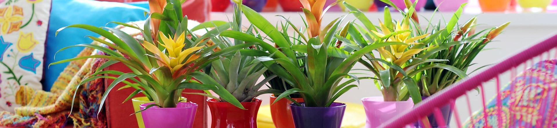 Goed om te weten: Bromelia's met dikke bladeren staan graag in een droge omgeving en Bromelia's met dunne bladeren hebben liever een wat vochtigere standplaats.