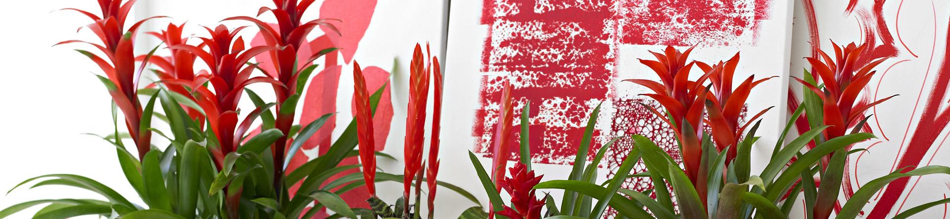 Avec des ancêtres dans la rude Cordillère des Andes, mais aussi dans les forêts tropicales d'Uruquay, la Bromélia n'est certainement pas une fleur délicate!