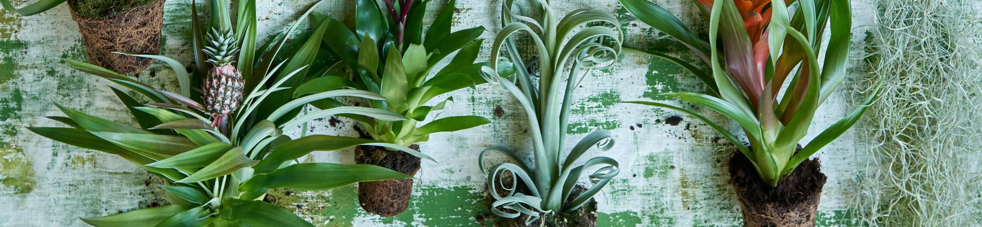 Sus orígenes tropicales convierten a la Bromelia en un superviviente típico.