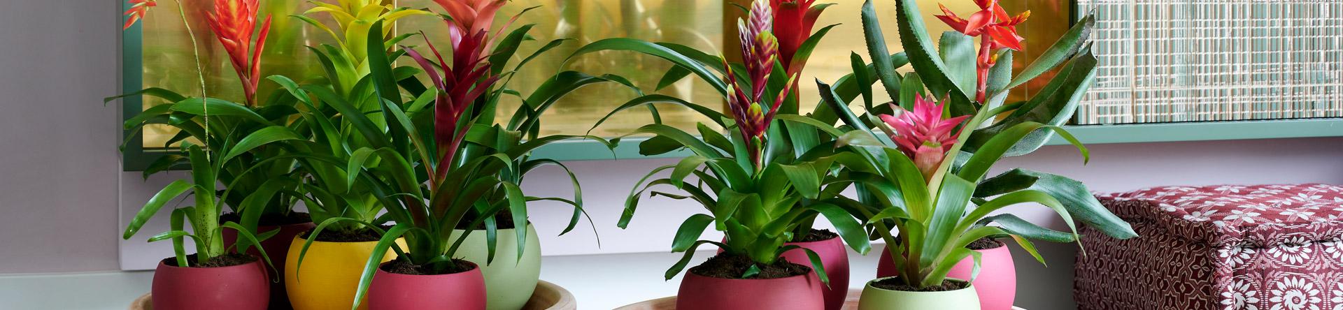 Bromelia's zijn zo goed als onderhoudsvrij en geven vrolijke energie, tot wel zes maanden lang!